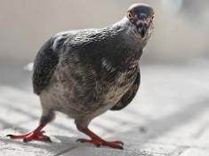 piccione-come-dissuaderli